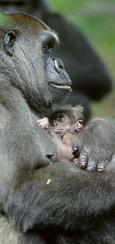 Gorilla Born At Bronx Zoo